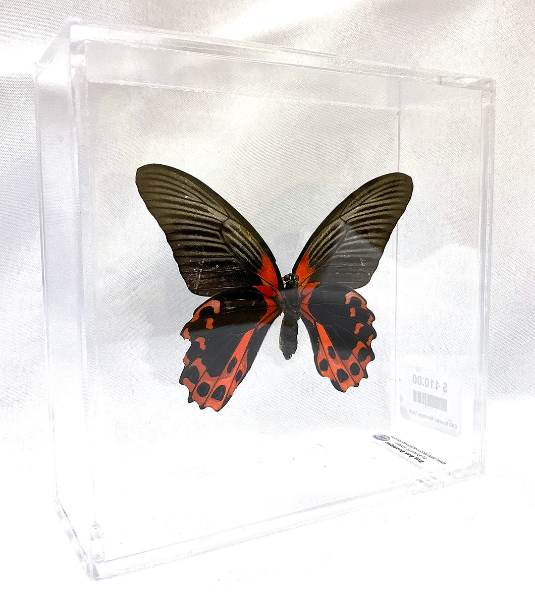 Scarlet Mormon 6 x 6 Acrylic Display