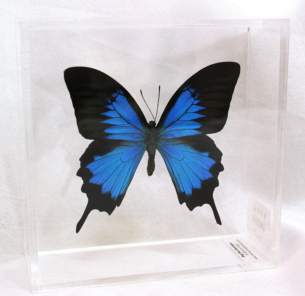 Blue Mountain Swallowtail 6 x 6 Acrylic Display