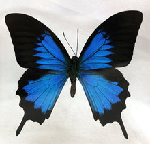 Load image into Gallery viewer, Blue Mountain Swallowtail 6 x 6 Acrylic Display