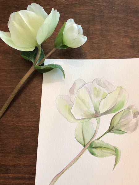 "Watercolour floral study- ""Hellebores""- watercolour on paper (5x7"")"