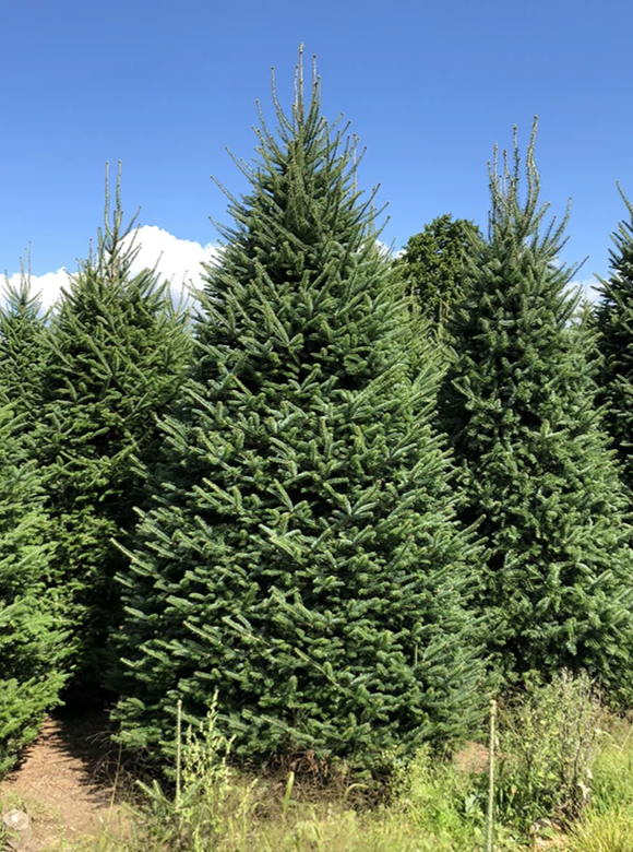 Fraser Fir Christmas Tree Delivery