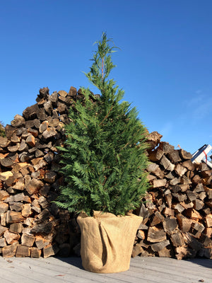 Open image in slideshow, Living Christmas Tree (~5.5-6.5')