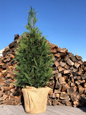 Living Christmas Tree (~5.5-6.5')