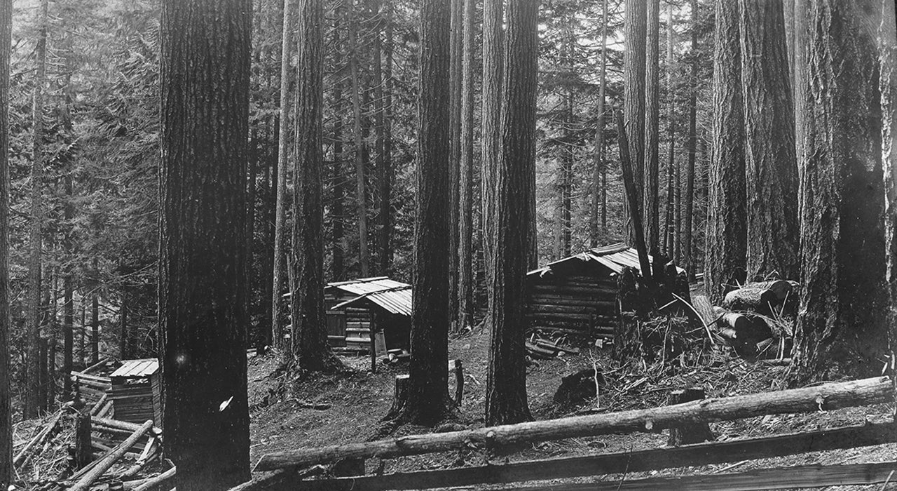 Cabins in an old growth forest
