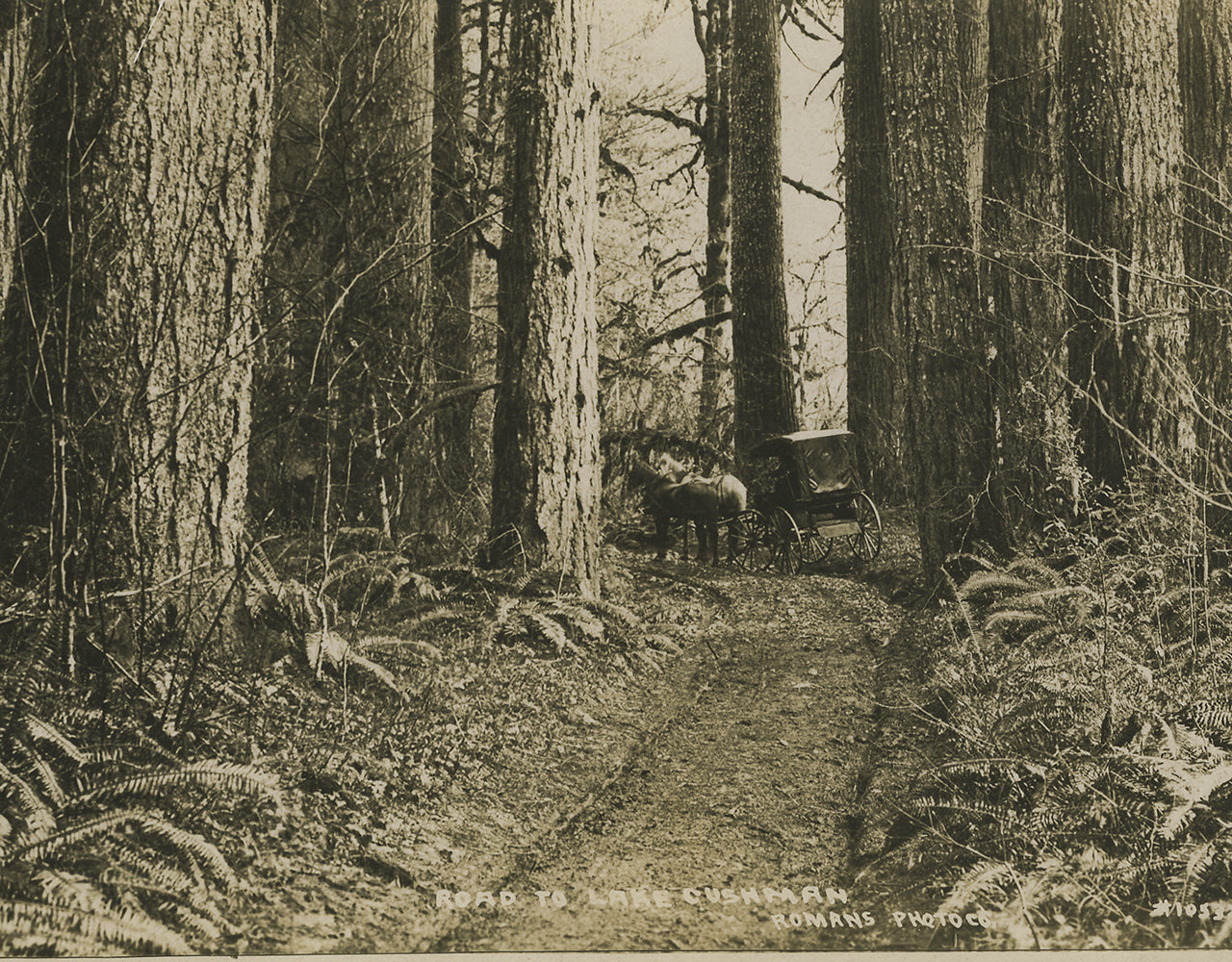 Wagon trail to Lake Cushman through the old growth forest