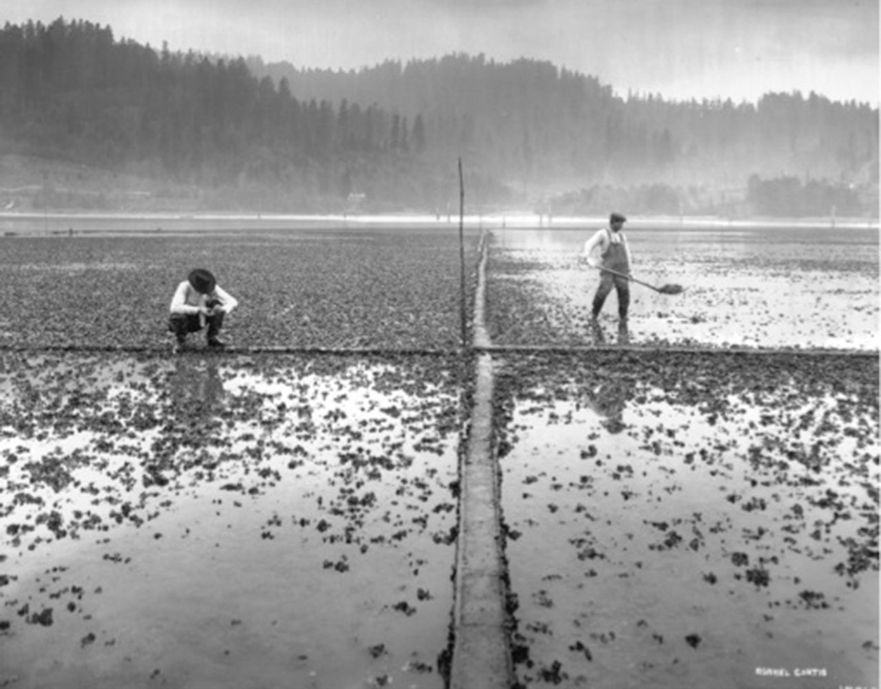 asahel curtis, oyster farming in south sound 1910