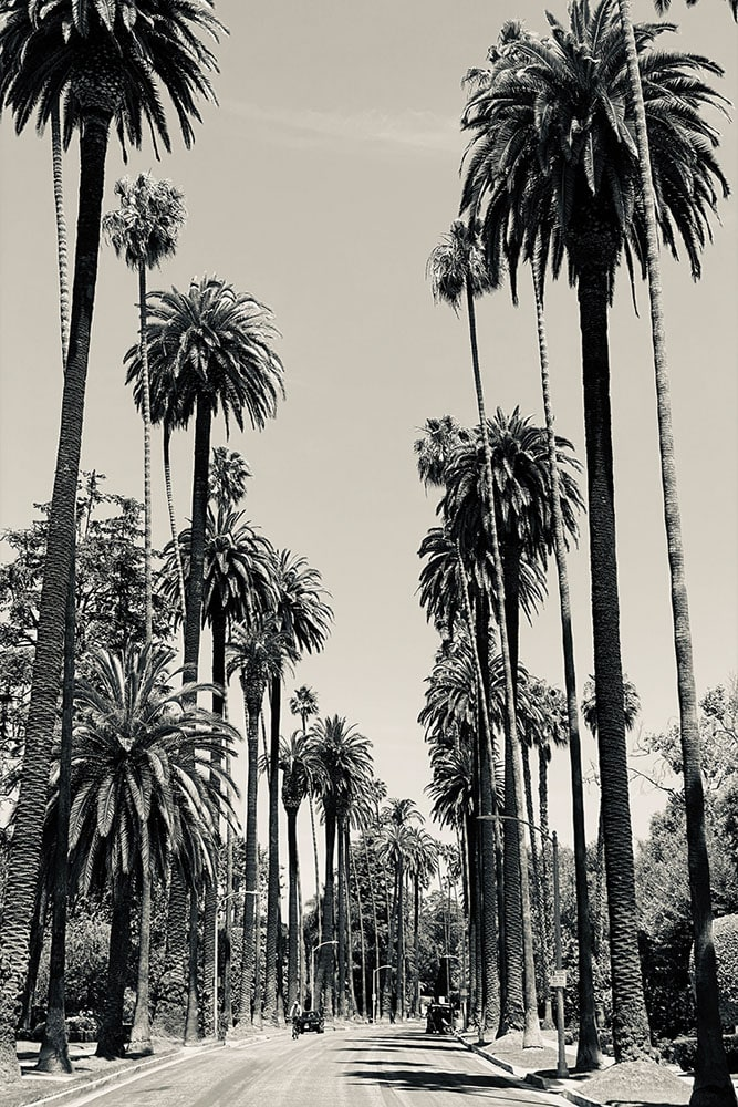 Beverly Hills palms fineart print in metal paper and acrylic