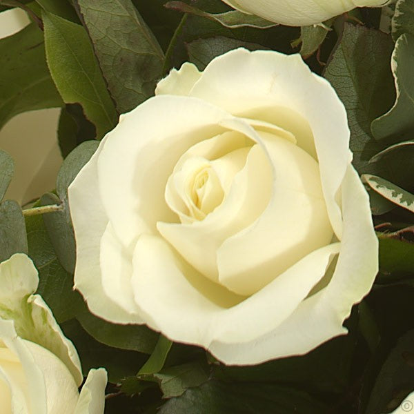 Most Loved White Roses
