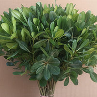 PITTOSPORUM Nurit Green (H50cm) (x10)