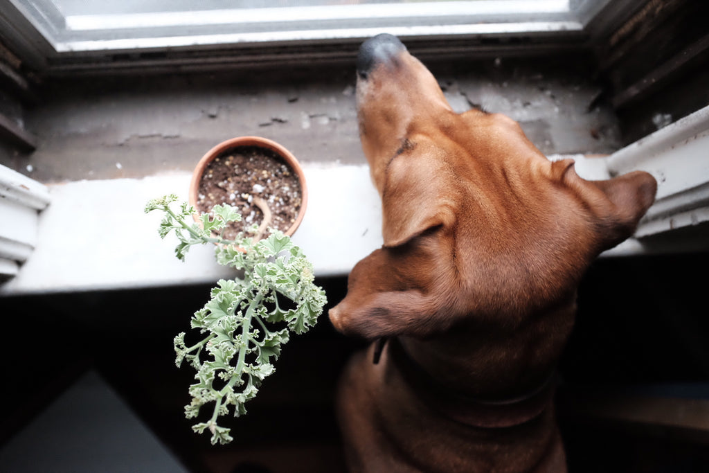 Rhodesian ridgeback with scented geranium French lace