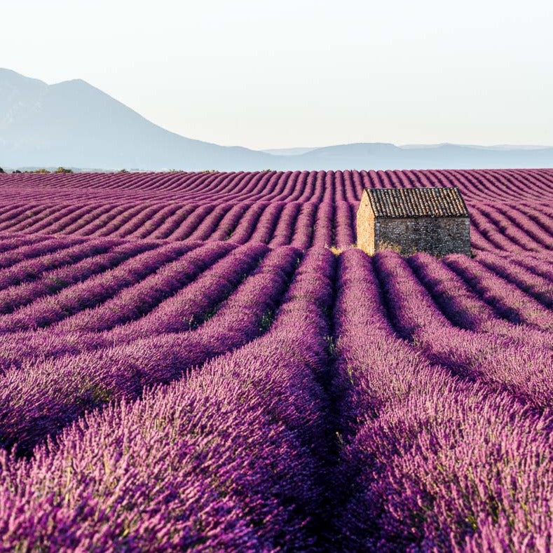 lavender field soy candle scent