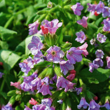 Lade das Bild in den Galerie-Viewer, Echtes Lungenkraut (Pulmonaria officinalis)