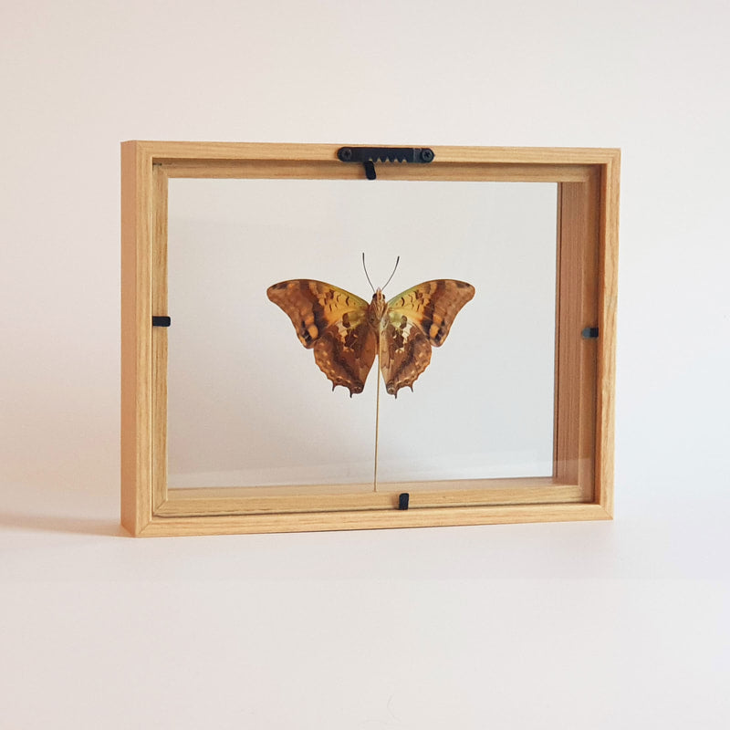 Charaxes Candiope in lijst