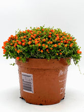 Load image into Gallery viewer, Coral Bead Plant | Nertera Astrid 12cm Pot | Suitable for Open or Closed Terrariums | Groundcover | Houseplant