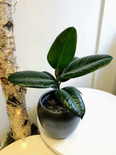 Load image into Gallery viewer, Rubber Plant | Ficus Elastica | 14cm