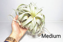Load image into Gallery viewer, Xerographica