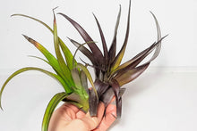 Load image into Gallery viewer, Flabellata Rubra | Living Air Plant | Vivarium Friendly |Green to Deep Purple in Colour | Free PDF Care Guide