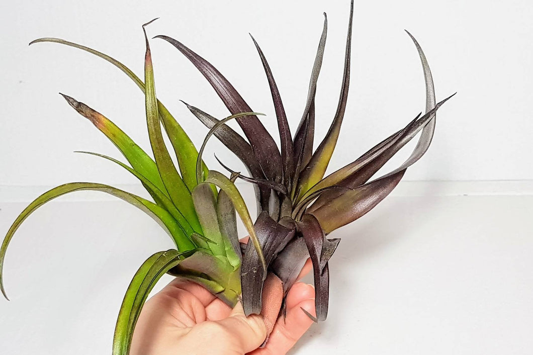 Flabellata Rubra | Living Air Plant | Vivarium Friendly |Green to Deep Purple in Colour | Free PDF Care Guide