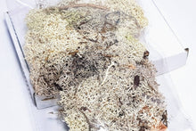 Load image into Gallery viewer, Pale Grey Reindeer Moss | 30g