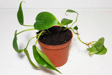 Load image into Gallery viewer, Heart Shaped Vine | Philodendron Scandens