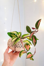 Load image into Gallery viewer, Hoya Carnosa Tricolour | Porcelain Flower Plant