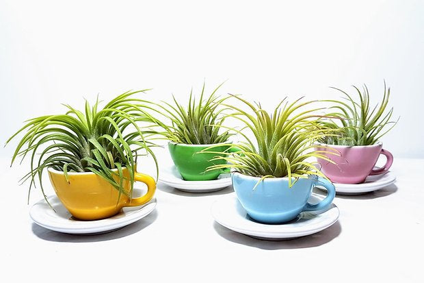 Air Plant in Miniature Tea Cups | 4 Colours Available | Air Plant Holder | Novelty Plant Pot | Free PDF Care Guide