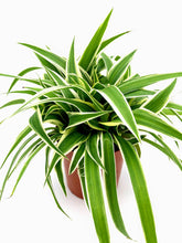 Load image into Gallery viewer, Thick & Bushy Spider Plant | Chlorophytum Co Ocean | 10.5cm Pot