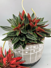 Load image into Gallery viewer, Peperomia Rosso | 10.5cm Pot