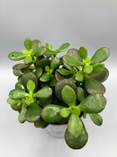 Load image into Gallery viewer, Crassula Ovata | Jade Plant | 9.5cm Pot