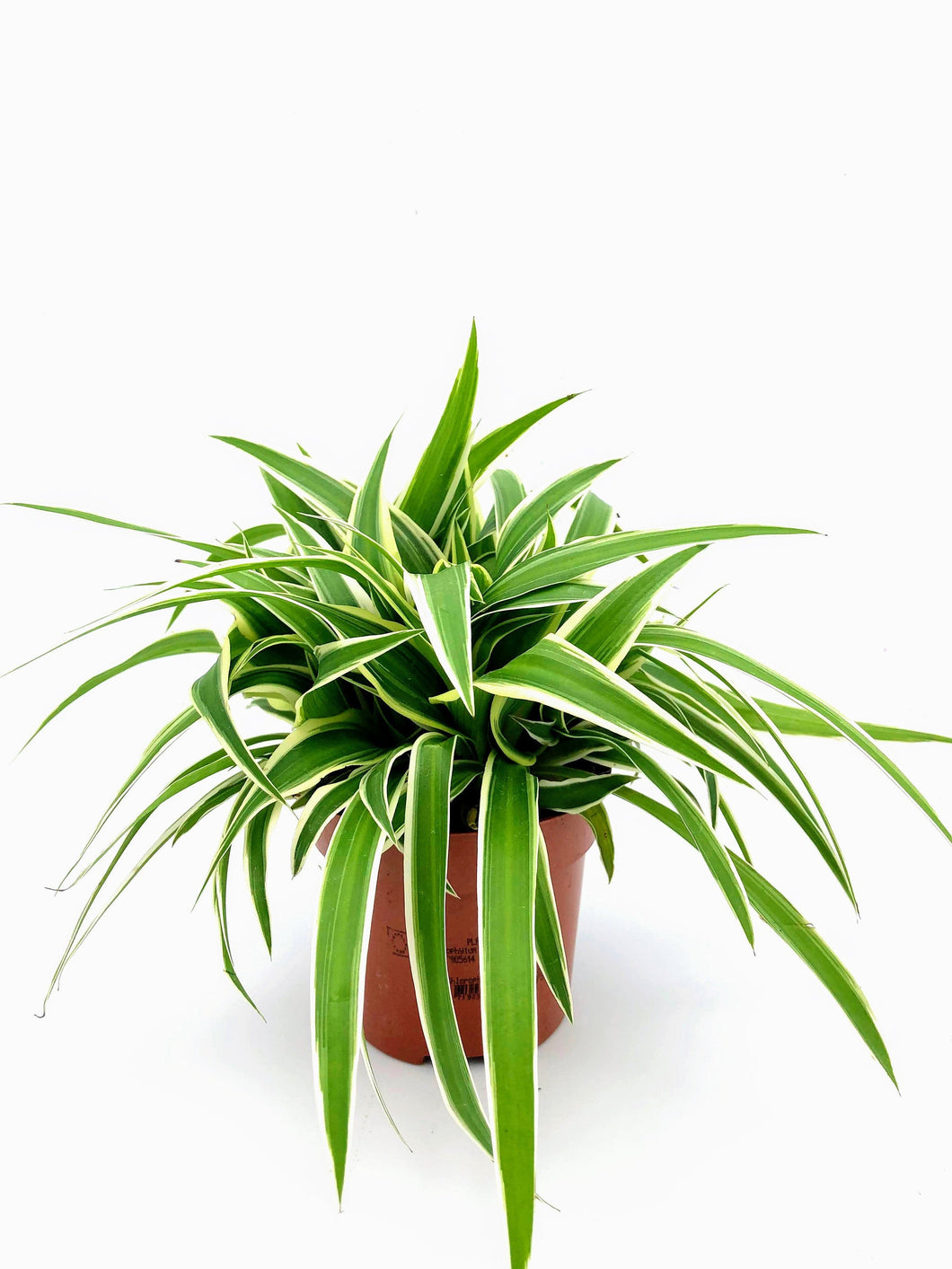 Thick & Bushy Spider Plant | Chlorophytum Co Ocean | 10.5cm Pot