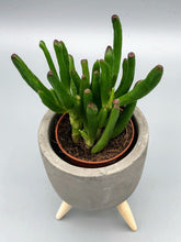 Load image into Gallery viewer, Ogre's Ears | Crassula Ovata