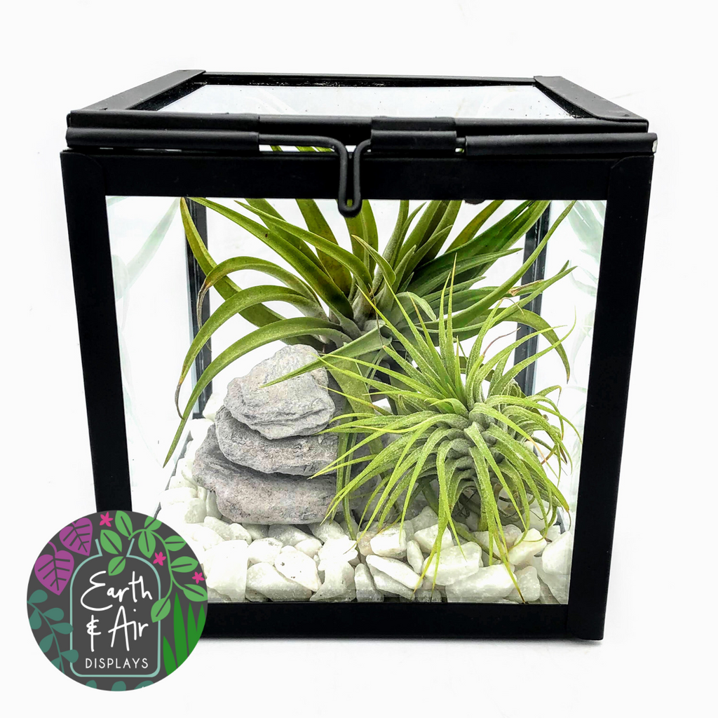 Glass Cube Air Plant Terrarium