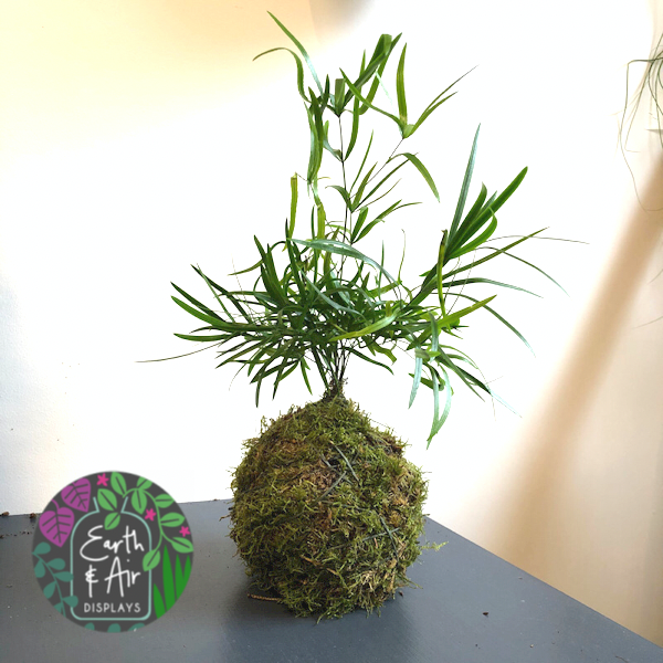 Freestanding Kokedama with Asparagus Fern by Earth & Air Displays