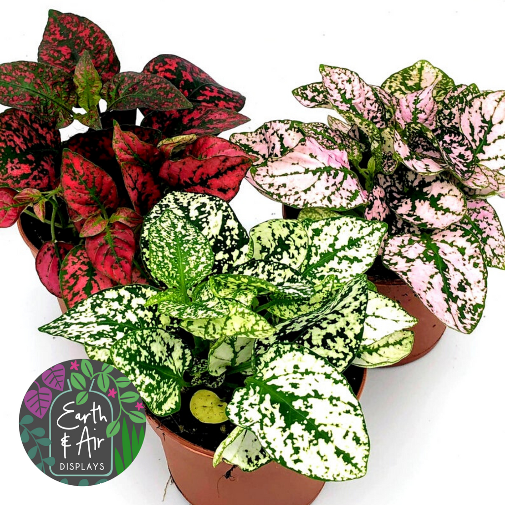 Polkadot Plant | Hypoestes Phyllostachya | 3 Beautiful Colours