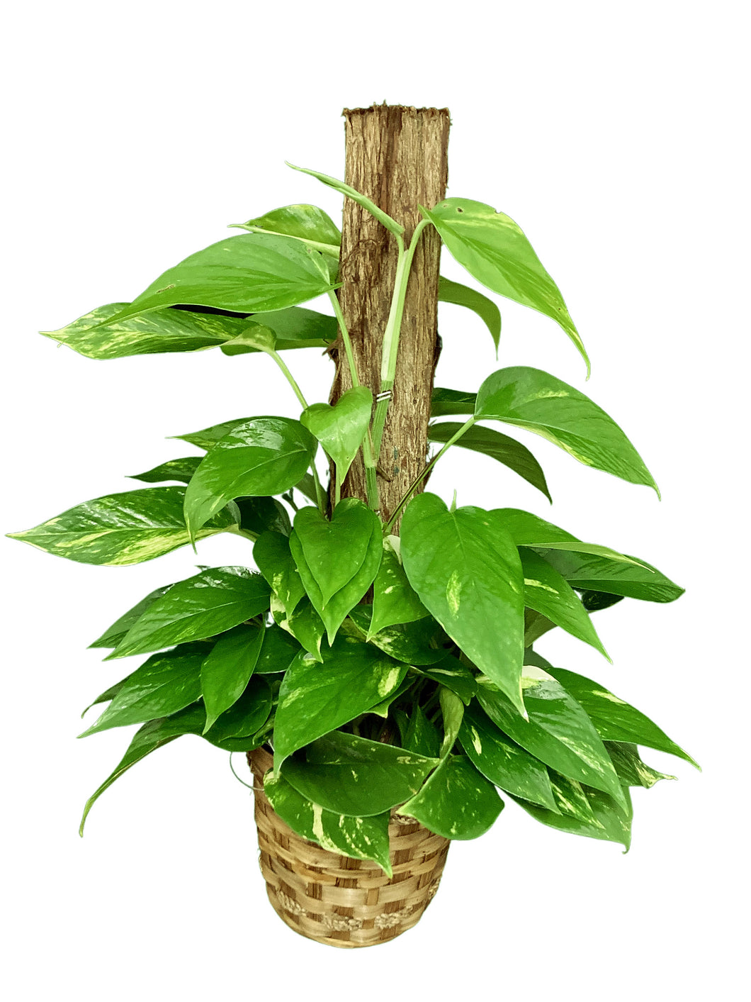 Pothos On Pole