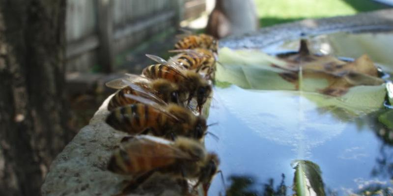 Can I Raise Bees In My Backyard why honey bees need water - seedles