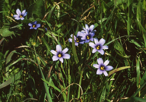 Sisyrinchium bellum, another one of the gorgeous wildflowers found in Point Reyes National Seashore