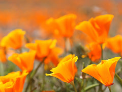 Native Wildflower California Poppy - latin as Eschscholzia Californica