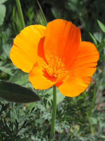 Here you can see the distinctive California poppy, commonly found within the park