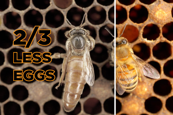 Popular insecticide reduces queen bees' ability to lay eggs by as much as two-thirds fewer eggs