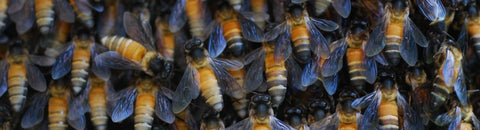Apis Dorsata, Giant Asian Honeybee