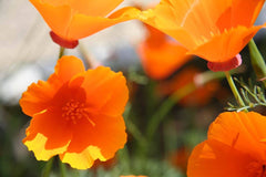 Seedles - California Poppy Seedles