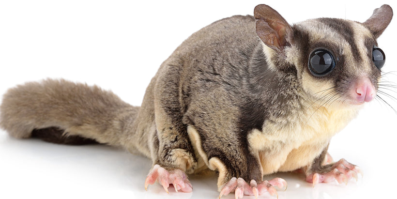 Sugar Glider Nutrition Products