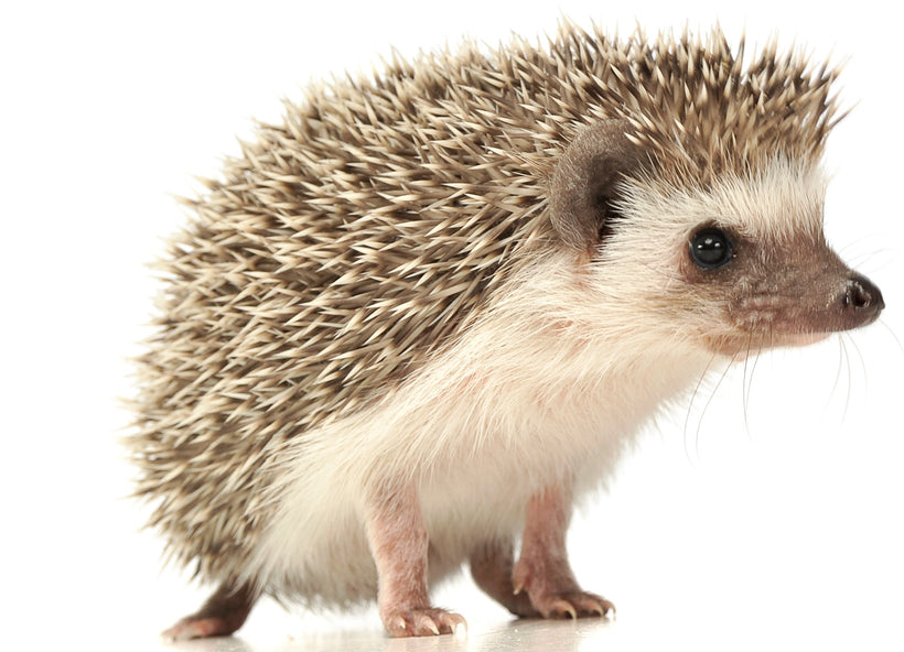 Hedgehog Nutrition Products