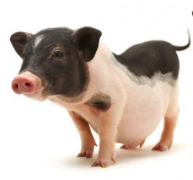 Miniature Pig Nutrition Products