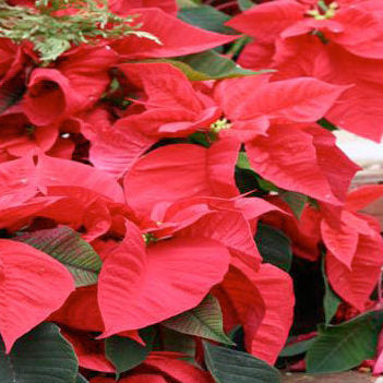 Red or White Poinsettias (Set of 10 - Local Only)