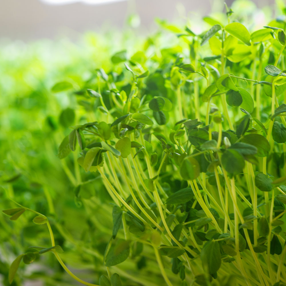 Growing Microgreens 101