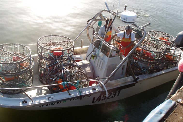 Dungeness Crab Season in Full Swing