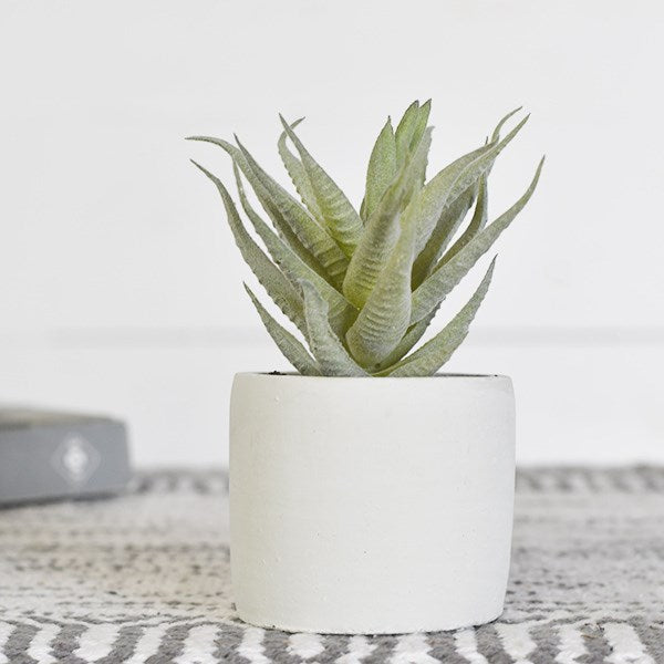 Succulent in White Pot