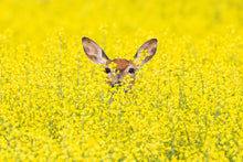 Load image into Gallery viewer, Doe 'hiding' in the Canola